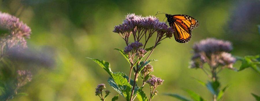 Monarch Habitat Garden